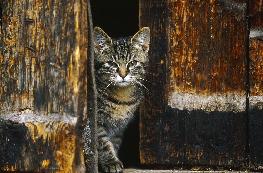 kitten, felis catus, looking between wooden doors, bohemia, europe - 987-266