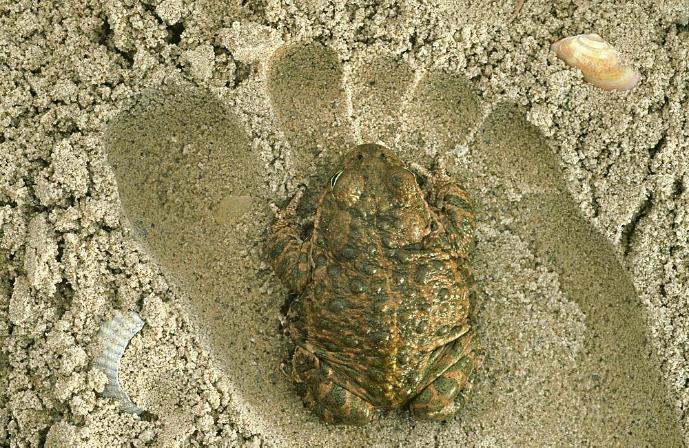natterjack toad: bufo calamita in sand dune habitat otterpark aqualutra, nl