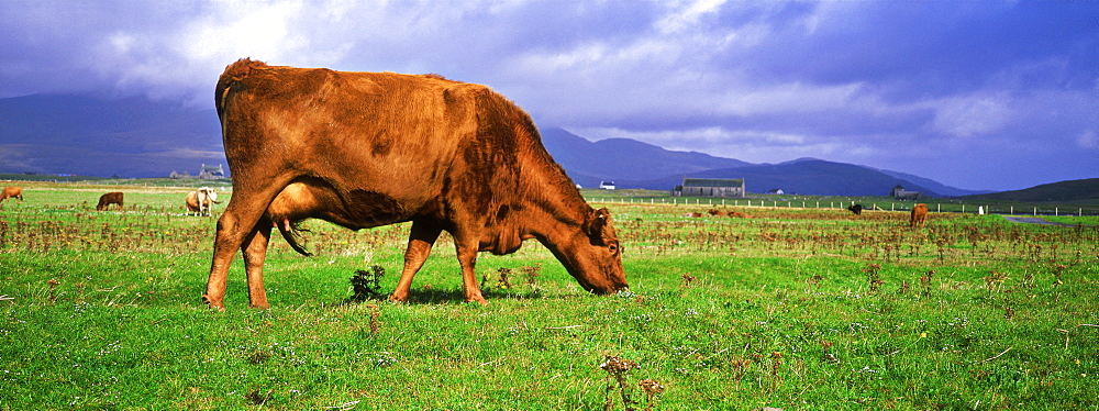 Cow grazing on the machair near Rubha Ardvule, South Uist, Scotland - 987-300