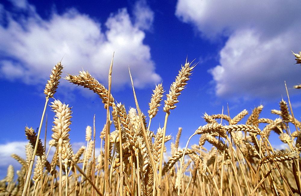 winter wheat: triticum sp. ripe winter wheat, september  m ontrose, angus, scotland - 987-31