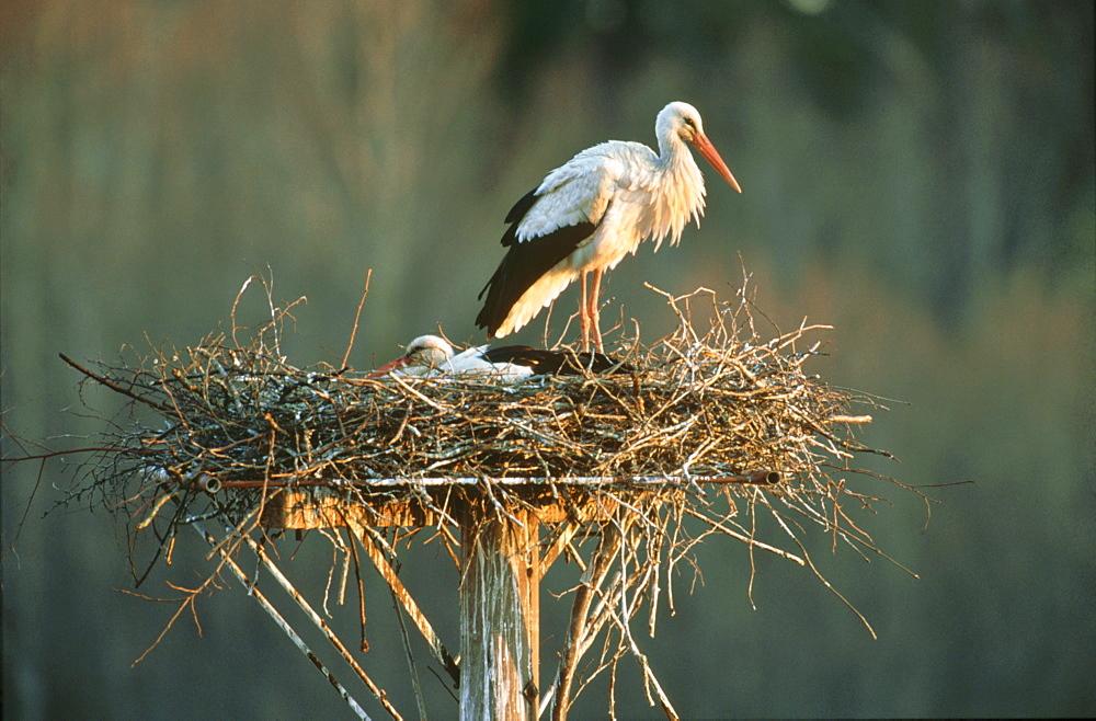 White stork, Ciconia ciconia, adult on nest, Tooma, Estonia - 987-323