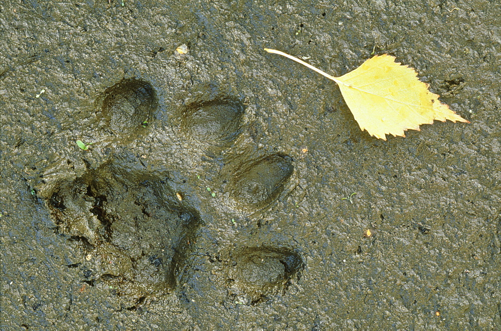 European lynx, Lynx lynx, print of male on mud, Sumava National Park, Czech Republic