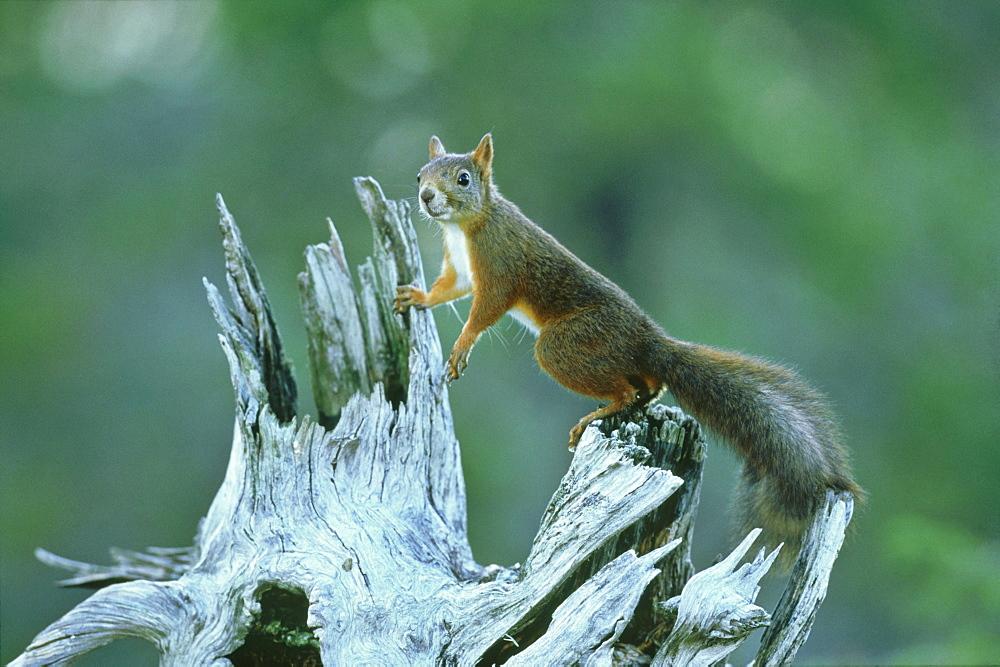 Red Squirrel, Sciurus vulgaris, Nor Trondelag, Norway - 987-331