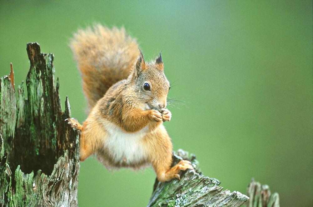 Red Squirrel, Sciurus vulgaris, Nor Trondelag, Norway - 987-332