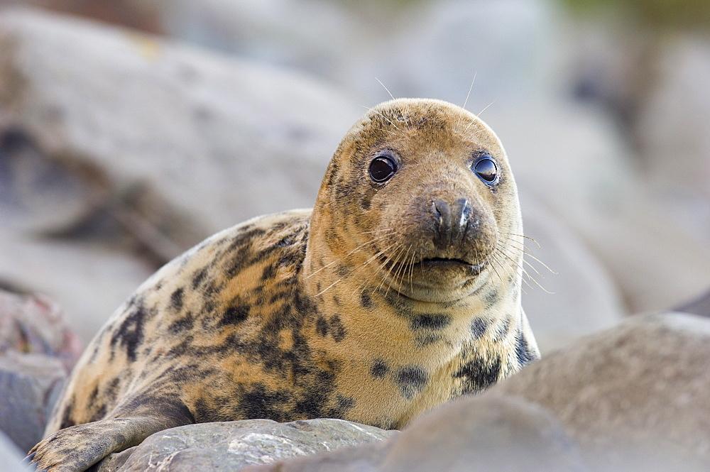 Grey Seal (Halichoerus grypus) cow on rocky shore, Borders, Scotland