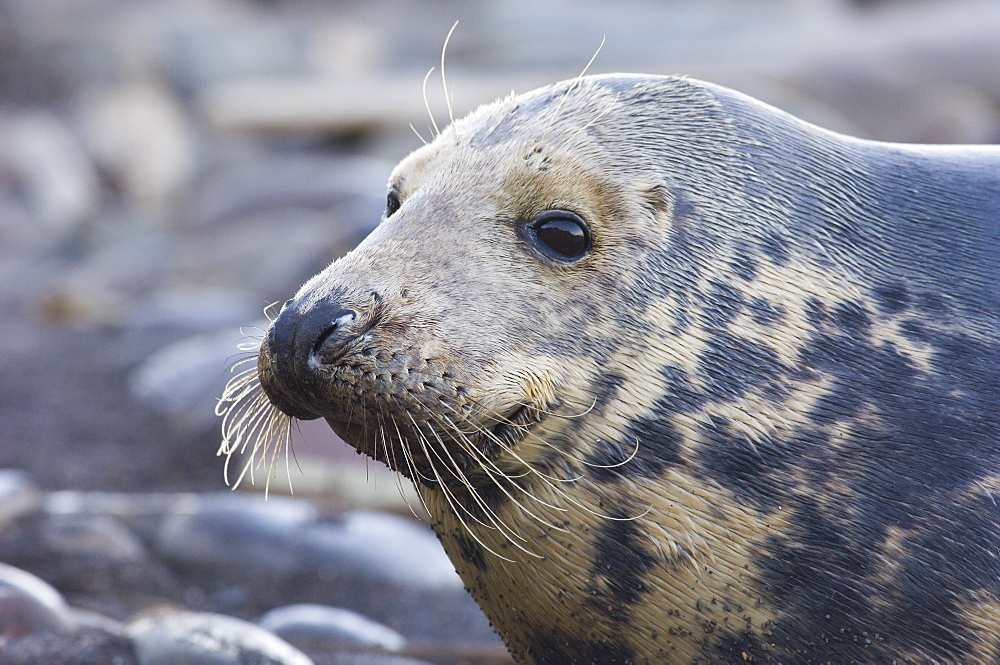 Grey Seal (Halichoerus grypus) close-up profile of adult cow, Borders, Scotland
