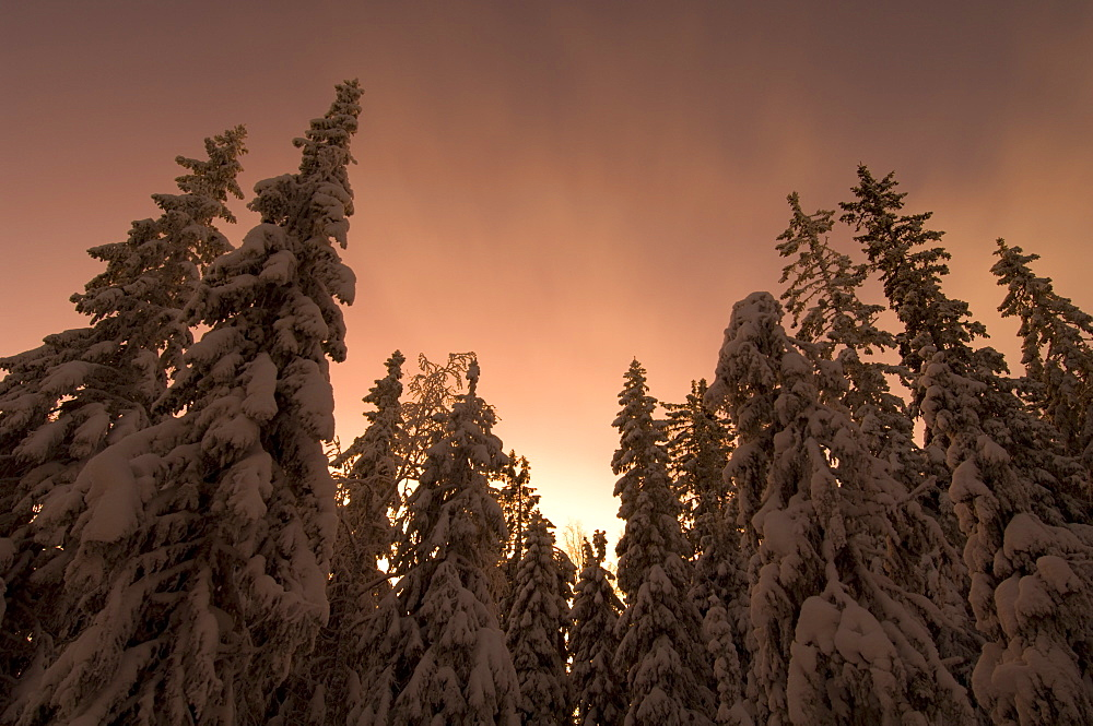 Snow-covered Norway spruce (Picea abies) at dusk, Sweden