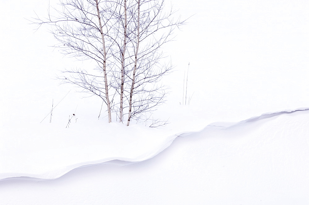 Silver birch, Betula pendula, above a snow cornice, Tartumaa, Estonia