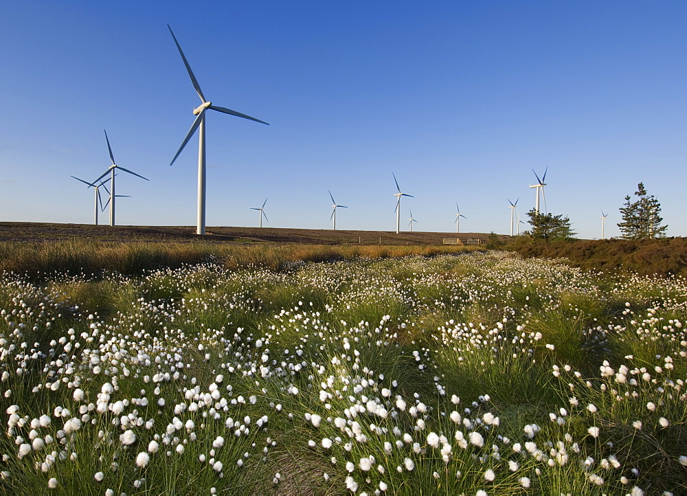 Cotton grass with wind turbines in the background, Blacklaw Windfarm, South Lanarkshire, Scotland