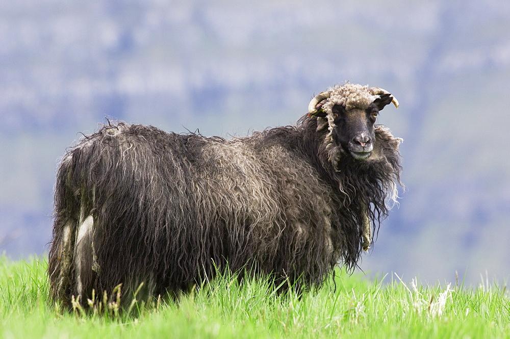 Faroese sheep beginning to moult, Eysturoy, Faroe Islands - 987-410