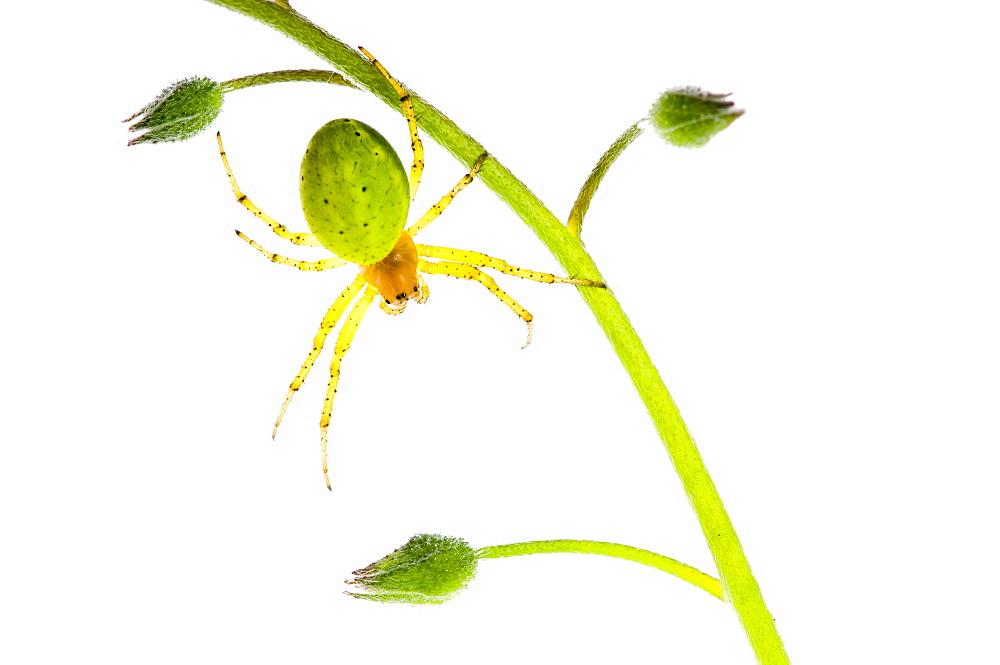 Cucumber green spider (Araniella cucurbitina), close up - 987-457