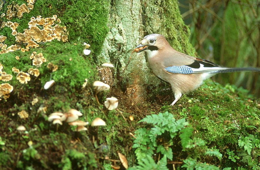 jay: garrulus glandarius feeding at woodland bait site mont reathmont,angus,scotland - 987-47