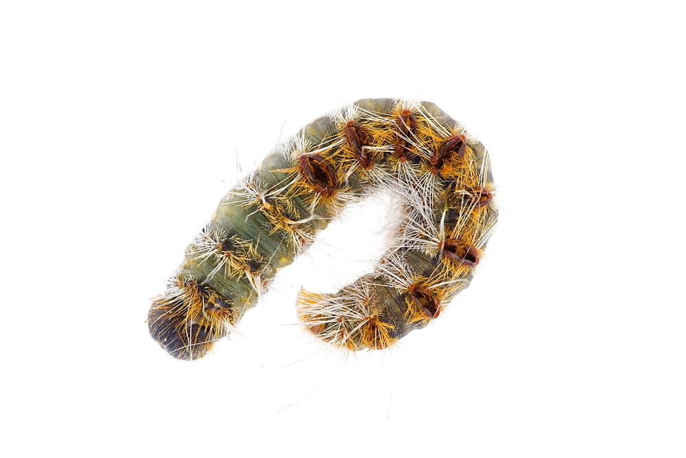 Pine processionary (Thaumetopoea pityocampa) caterpillar, Alicante, Spain