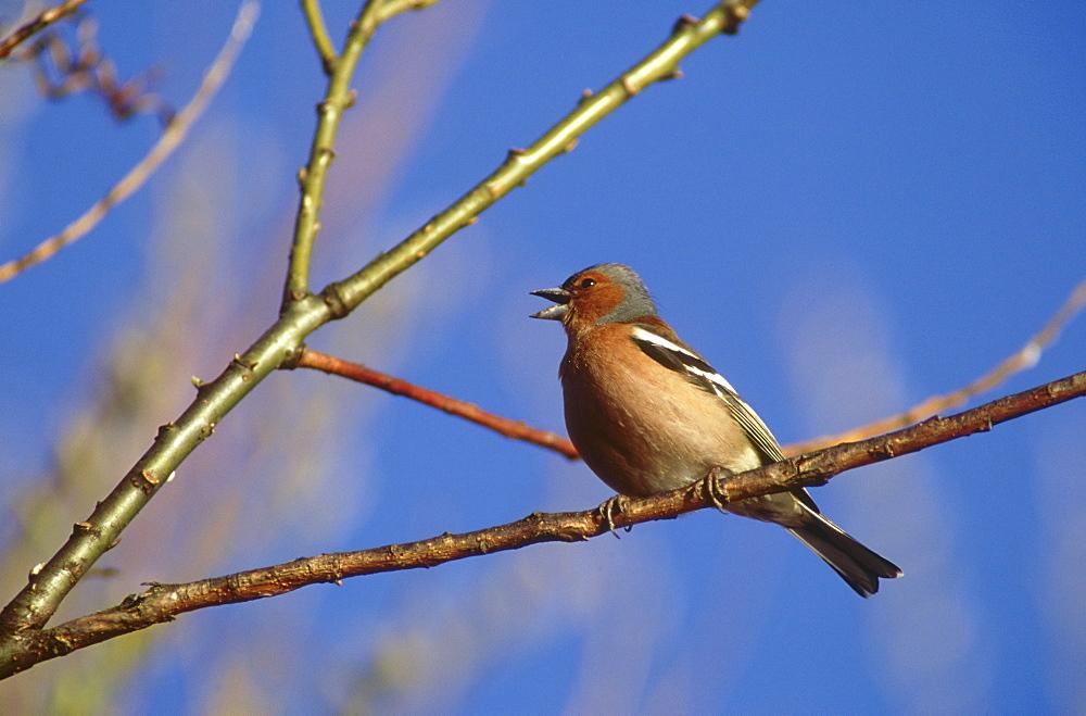 chaffinch: fringilla coelebs male, singing montrose, angus, scotland