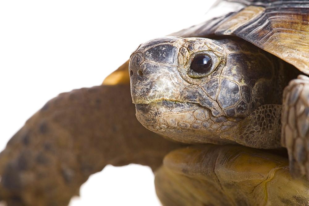 Greek tortoise (Testudo graeca ibera), Spain - 987-516