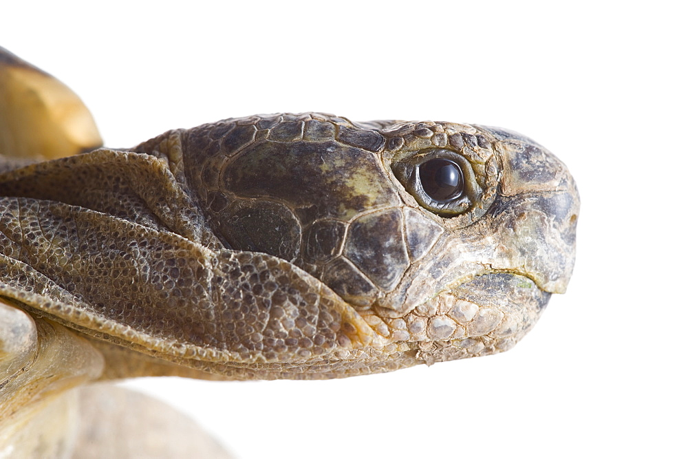 Greek tortoise (Testudo graeca ibera) head, Spain