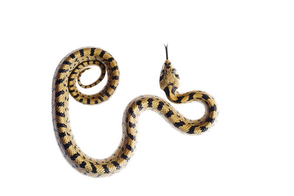 Juvenile ladder snake, Alicante, Spain - 987-559