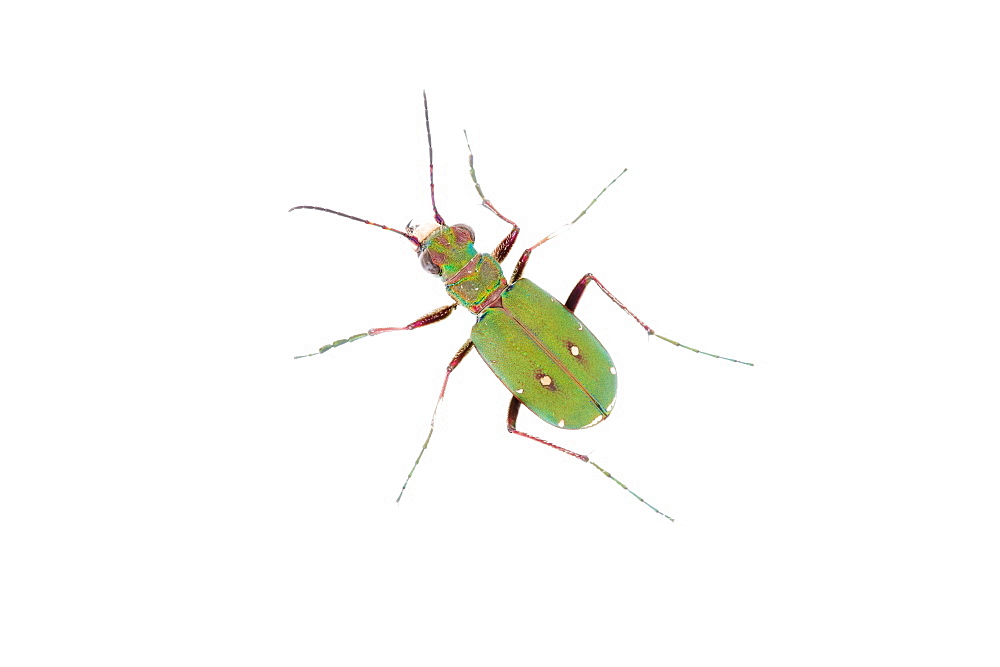 Green tiger beetle - 987-566