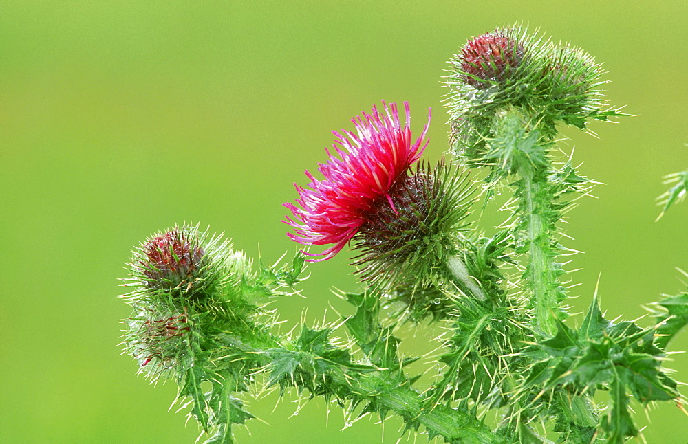 welted thistle: carduus acanthoides flowers st. cyrus nnr, scotland