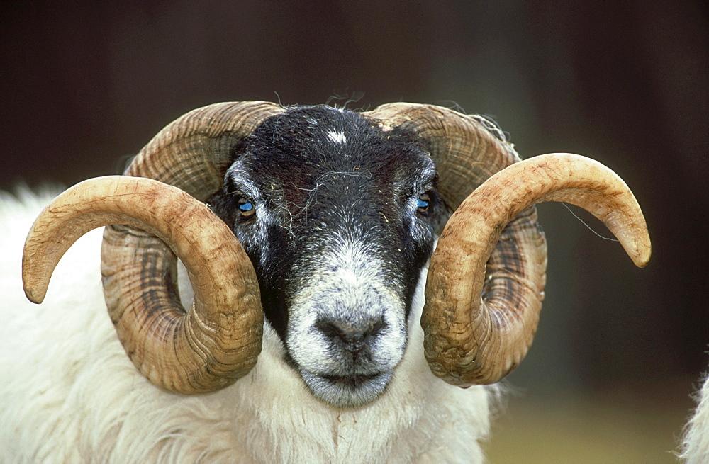 domesticated sheep: ovis aries black faced ram  highlands, scotland