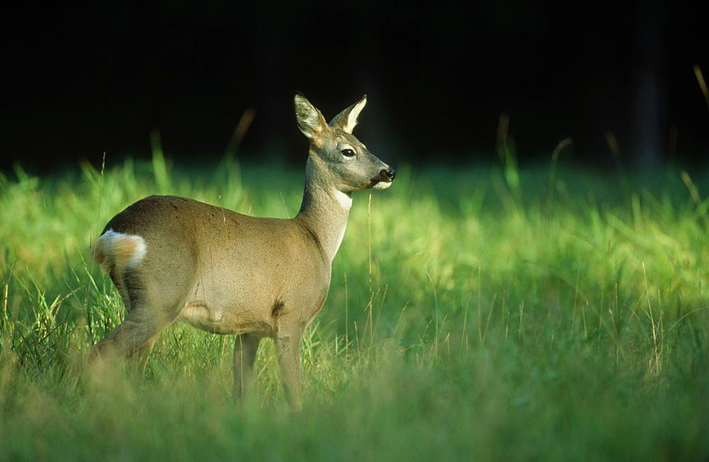 roe deer (c): capreolus capreolus amongst grass ligatne, gauja np, latvia - 987-69