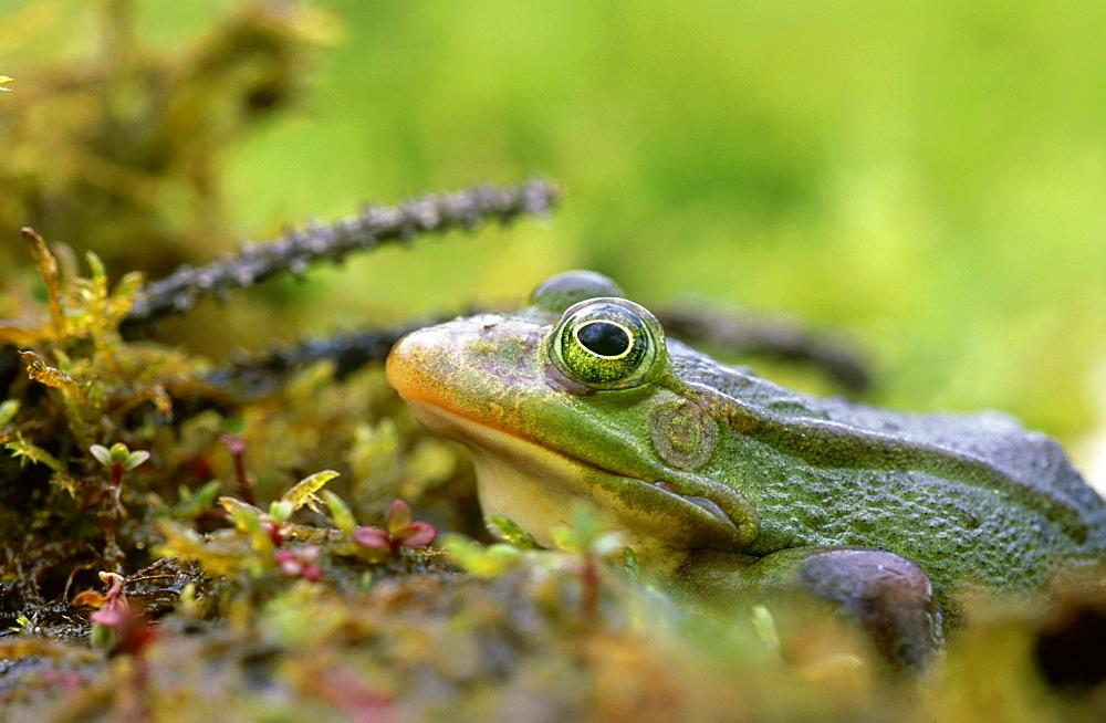 marsh frog: rana ridibunda in forest pond tartumaa, estonia - 987-76