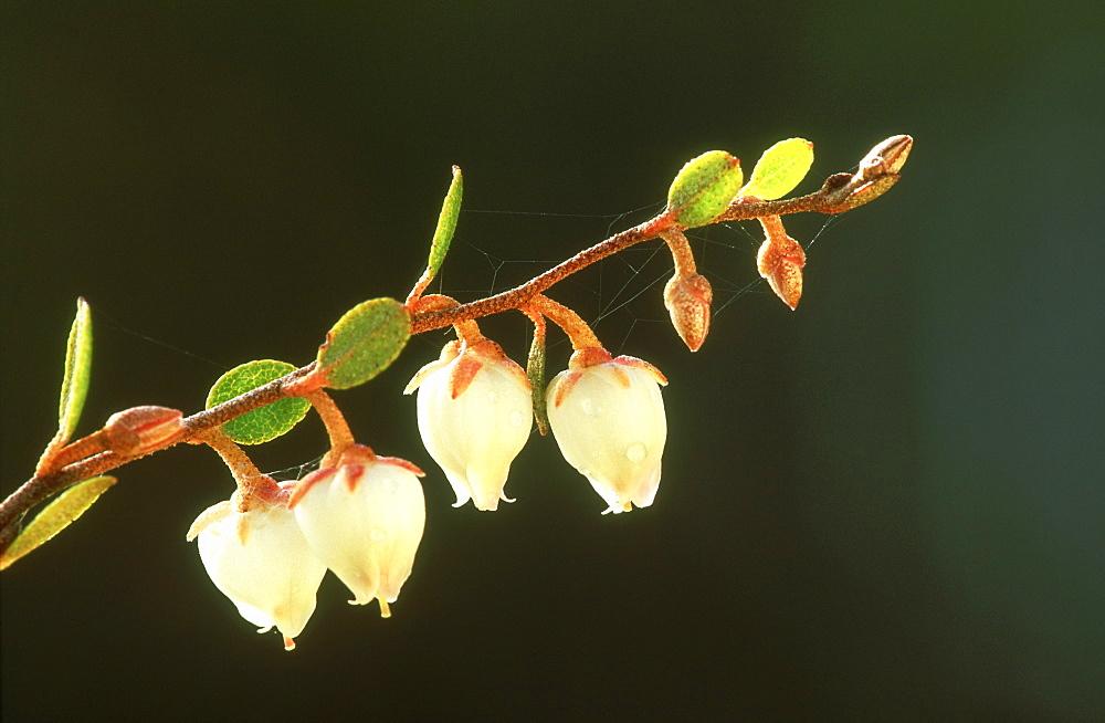 leatherleaf, chamaedaphne calyculata, flowers, may, alam pedja nr, estonia - 987-83