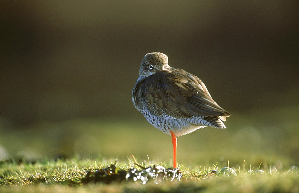 redshank: tringa totanus at roost, on bank montrose basin, angus,scot.