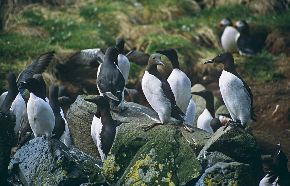 Guillemot (Uria aalge), razorbill (Alca torda) and puffin (Fratercula arctica) nesting together.  Space is at a premium on the nesting sites in the Treshnish Isles so different species have to get along with each other.  Hebrides, Scotland
