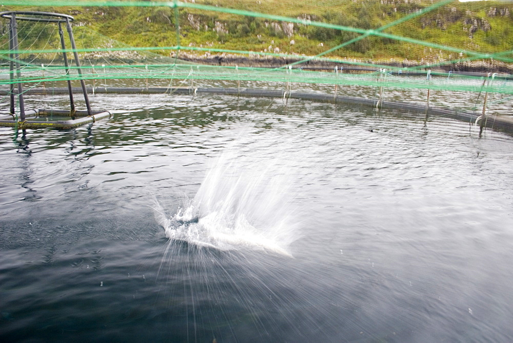 Salmon in fish farm.  Salmon jumping in fish farm, behaviour thought to be associated with dislodging lice.  Hebrides, Scotland