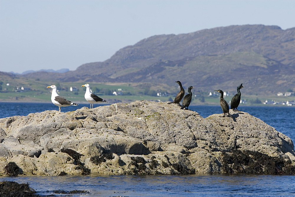 Great black-backed gull (Larus marinus) and shag (Phalacrocorax aristotelis) sharing a rock.  Hebrides, Scotland.