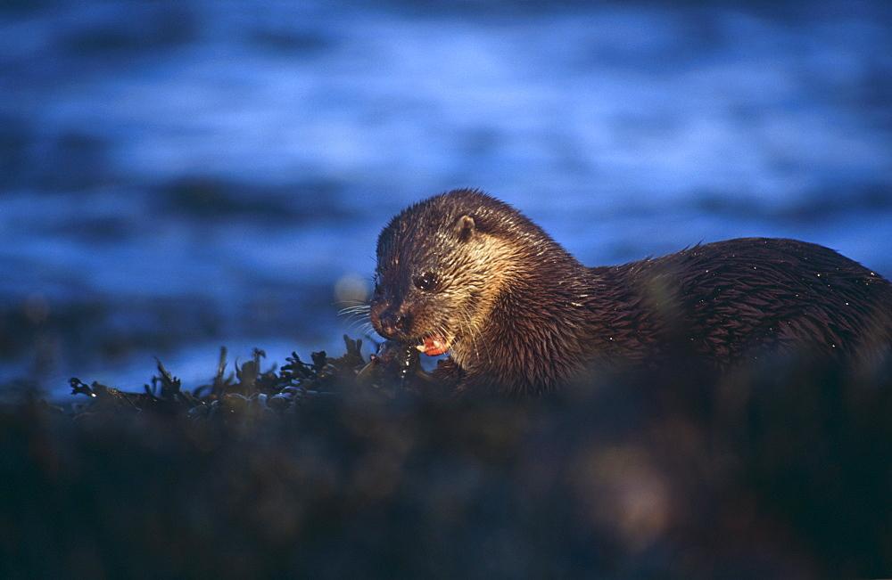 Eurasian river otter (Lutra lutra).  Hebrides, Scotland
