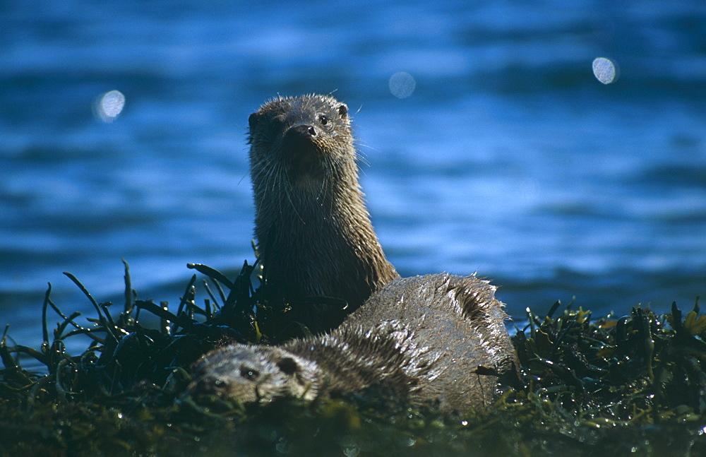 Eurasian river otter (Lutra lutra).  Hebrides, Scotland - 988-34