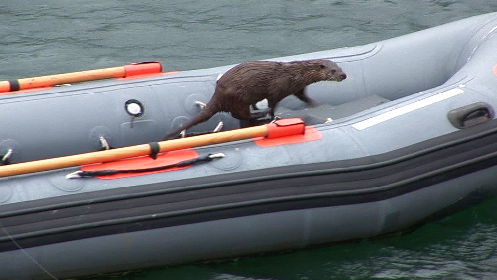 Eurasian otter (Lutra lutra). Exits boat. Tobermory. Mull. Scotland - 988-488