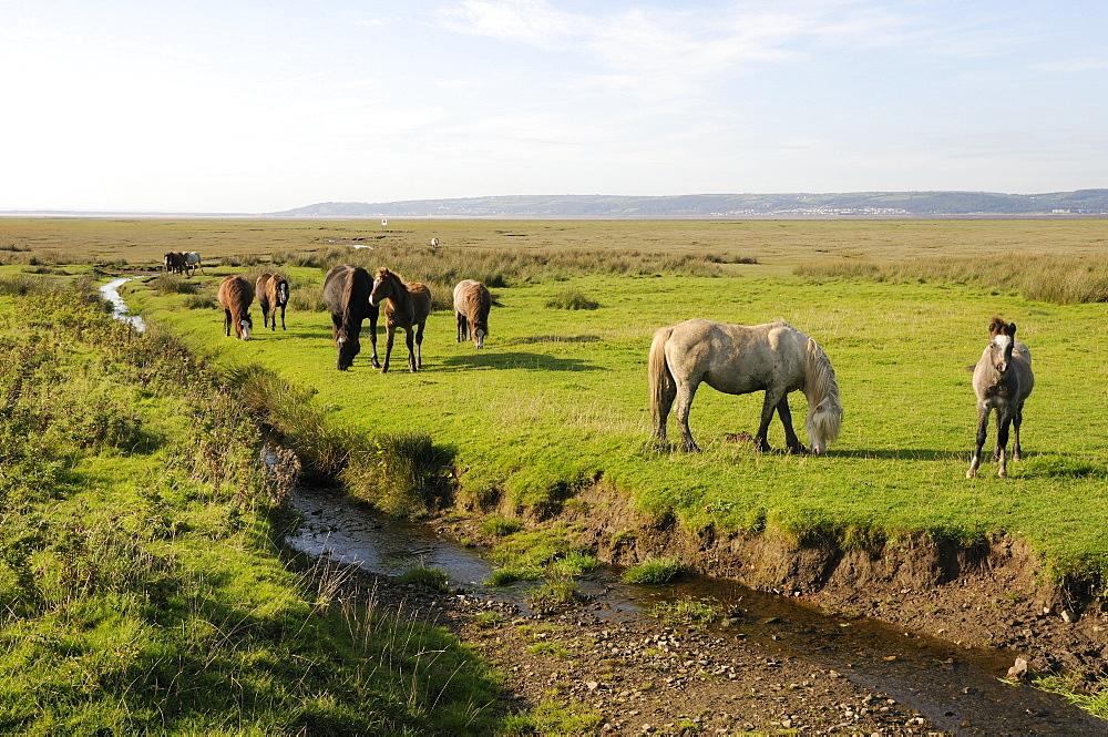 Welsh mountain ponies (Equus caballus) grazing Llanrhidian salt marshes, The Gower Peninsula, Wales, United Kingdom, Europe