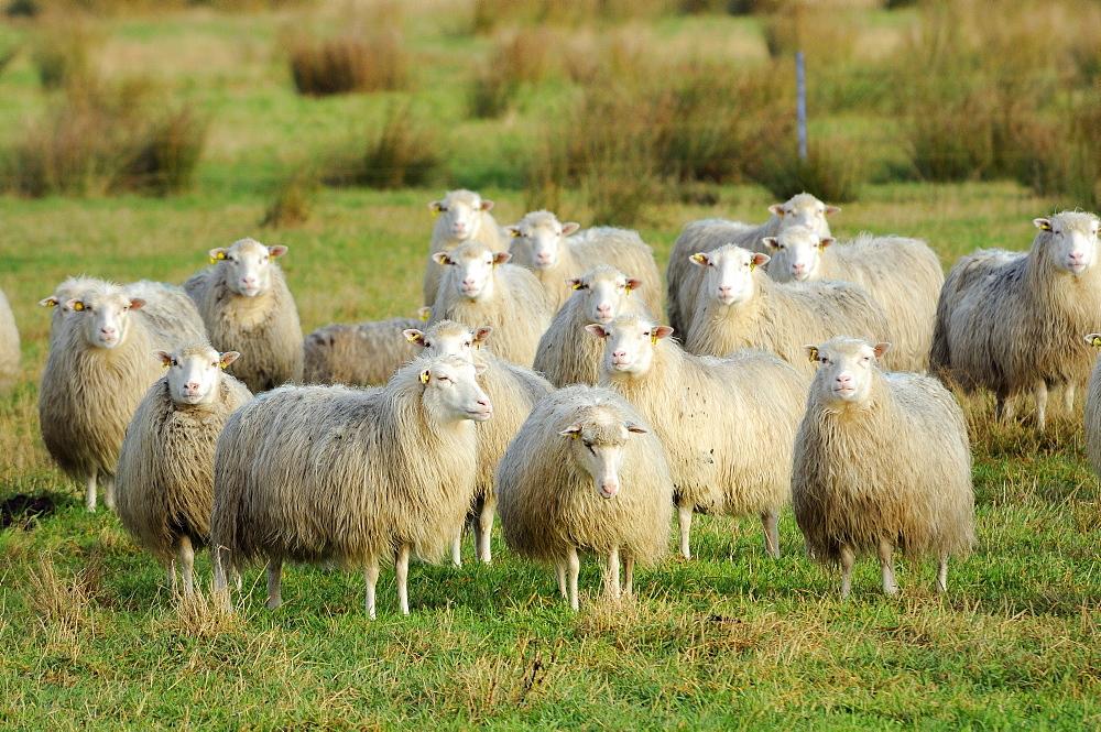 Diepholzer Moorschnucke (Moorland sheep) (Ovis aries), a rare old breed adapted to moorland living, Rehdener Geestmoor, Lower Saxony, Germany, Europe