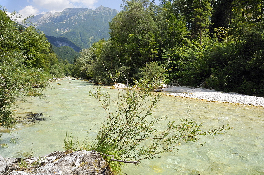 Upper Soca River, Mount Razor, and willow bushes (Salix sp.), Julian Alps, Triglav National Park, Slovenia, Europe