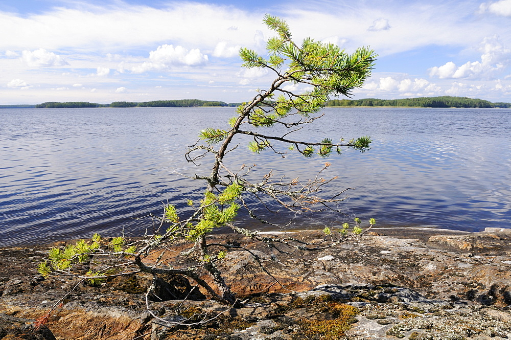 Scots pine sapling (Pinus sylvestris) struggling to survive, growing from fissure in bare granite shoreline of Lake Saimaa, near Savonlinna, Finland.