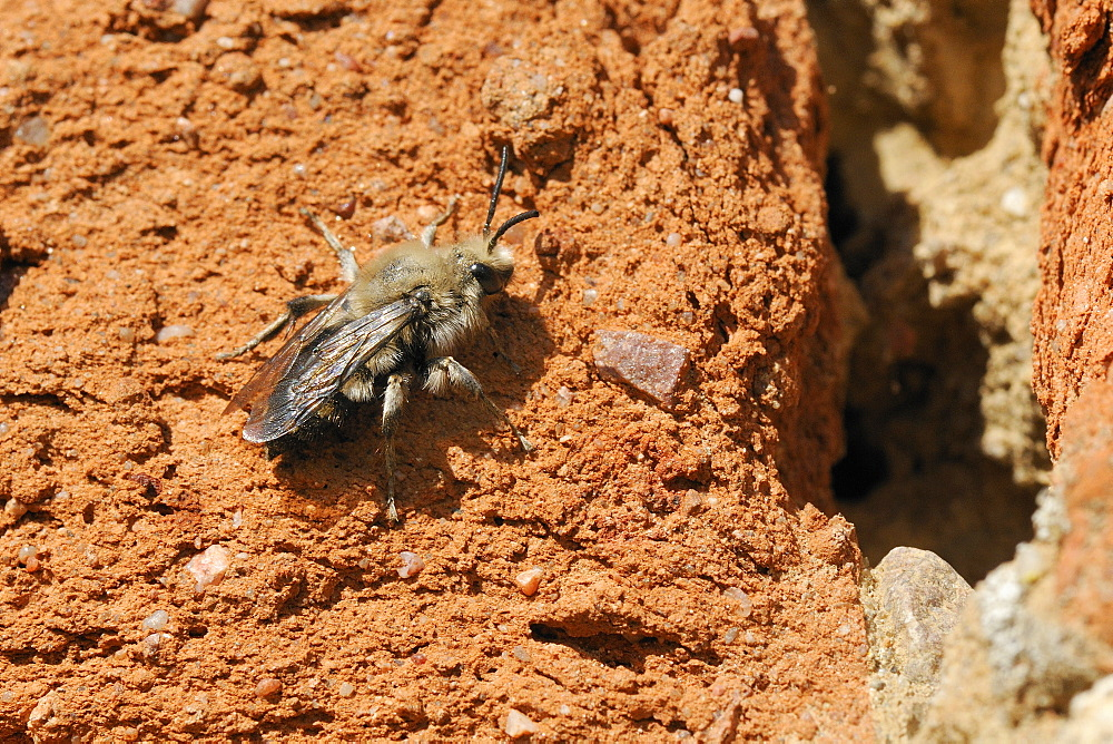 Cuckoo bee (Melecta albifrons) a parasite of solitary bees, searching an old wall for host nests, Brandenburg, Germany, Europe