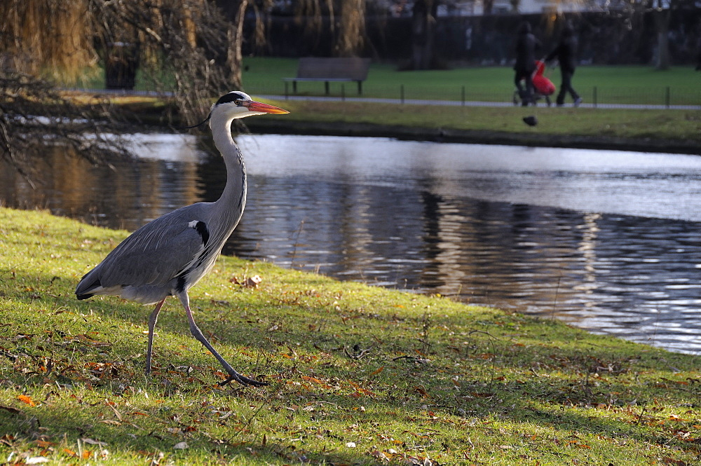Grey heron (Ardea cinerea) walking on lawn near boating lake as people walk past in the background, Regent's Park, London, England, United Kingdom, Europe