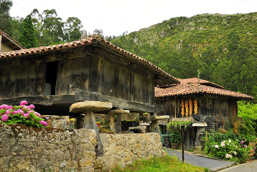 Horreo granaries on pillars topped with flat stones mueles to repel rodents, with maize cobs drying, Cuevas, Asturias, Spain, Europe