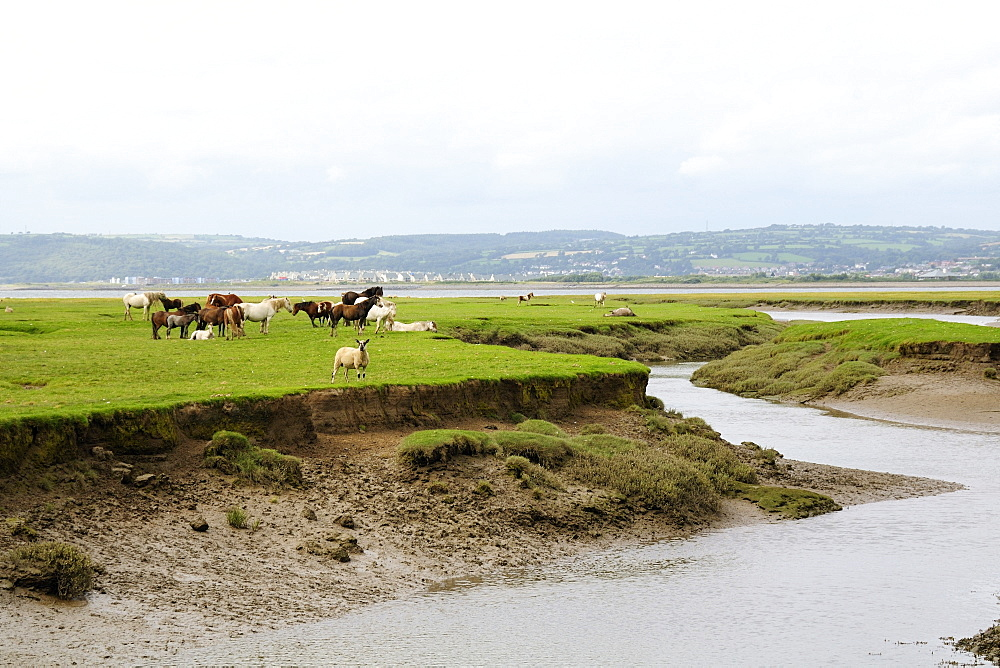 Sheep (Ovis aries) and Welsh ponies (Equus caballus) on Llanrhidian saltmarshes as the tide rises, The Gower Peninsula, Wales, United Kingdom, Europe