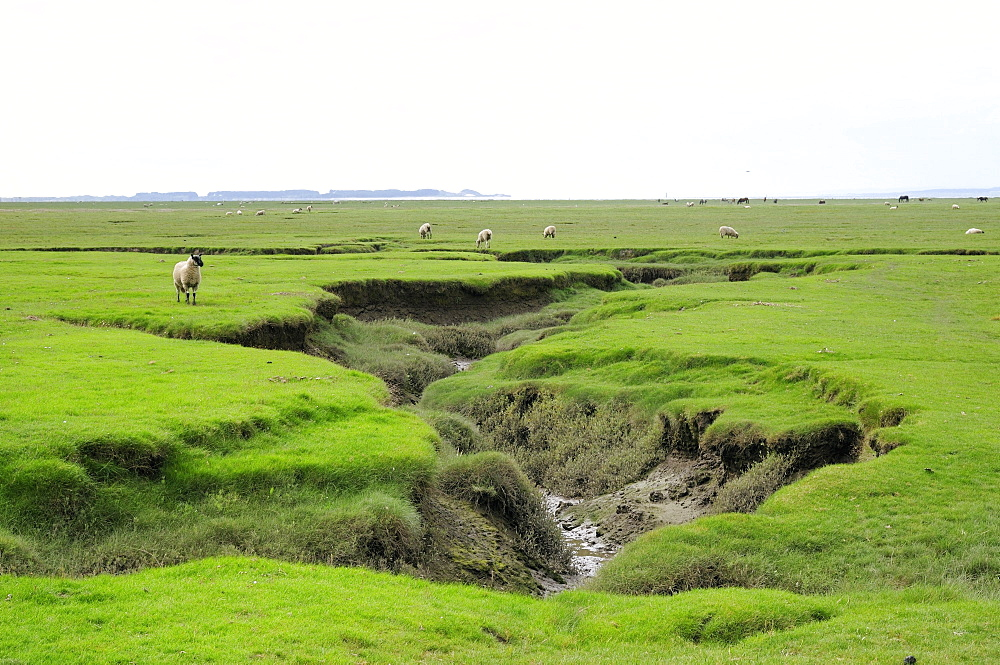 Sheep (Ovis aries) grazing Llanrhidian salt marshes by tidal creeks, The Gower Peninsula, Wales, United Kingdom, Europe