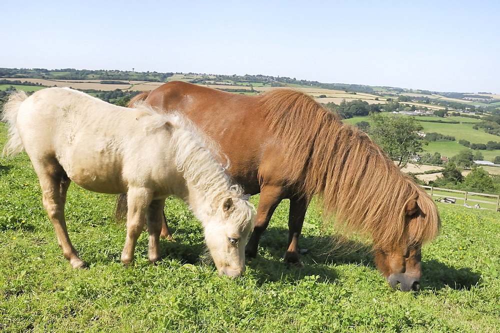 American miniature horse (Equus caballus) mare and foal grazing a hillside paddock, Wiltshire, England, United Kingdom, Europe