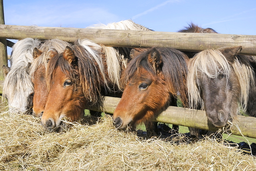 Row of  five American miniature horses (Equus caballus) reaching through a wooden fence to eat hay, Wiltshire, England, United Kingdom, Europe