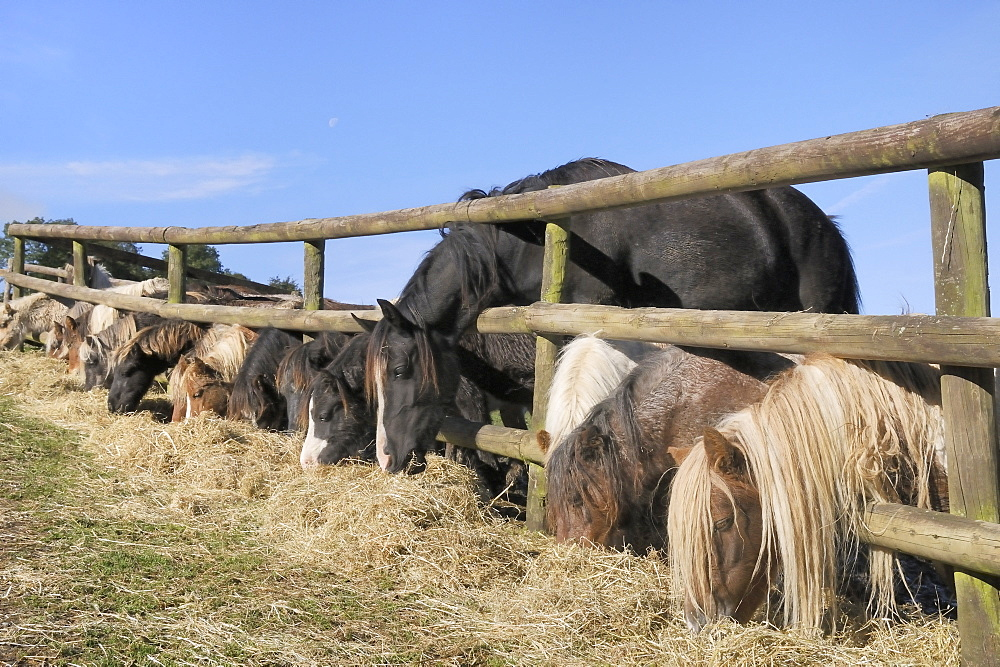 Row of miniature horses (Equus caballus) and a Welsh cob reaching through a wooden fence to eat hay, Wiltshire, England, United Kingdom, Europe