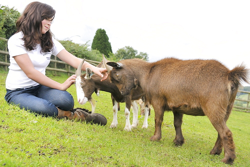 Girl stroking the heads of two female pygmy goats (Capra hircus), Wiltshire, England, United Kingdom, Europe