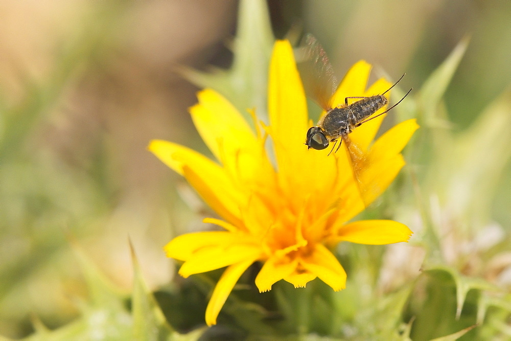 Bee fly (Petrorossia or Cononedys sp.) hovering above yellow flower growing by the coast, Karlovasi, Samos, Greece, Europe