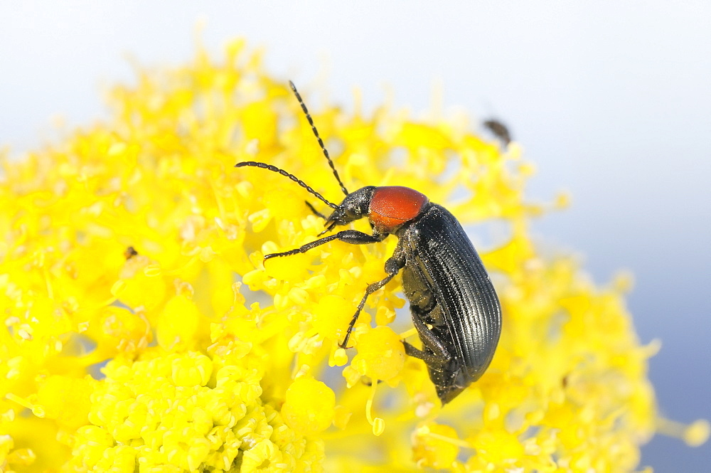 Comb-clawed beetle (Heliotaurus ruficollis) feeding on giant fennel flowers (Ferula communis), Lagos, Algarve, Portugal, Europe