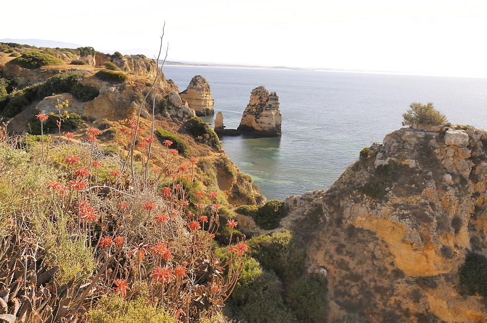 Soap aloe (Aloe maculata) (Aloe saponaria) succulent flowering on a clifftop, Lagos, Algarve, Portugal, Europe